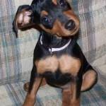 213848 raça de cachorro pinscher 150x150 Raças de Cachorros Pequenos   Fotos