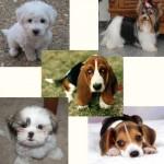 213848 raça de cachorro1 150x150 Raças de Cachorros Pequenos   Fotos