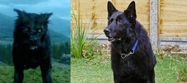 279767 berry Cão que interpretou Sirius Black em Harry Potter é posto para doação