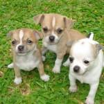 30616 Chihuahua filhote 150x150 Fotos de cachorros de raça