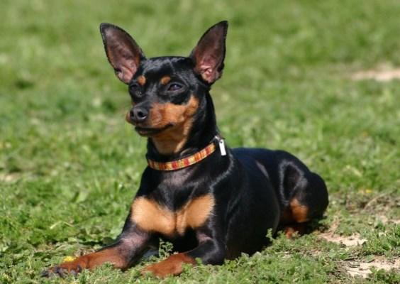 Fotos de cachorros de ra a for Pinscher medio