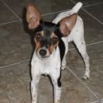 30616 Fox paulistinha 1 150x150 Fotos de cachorros de raça