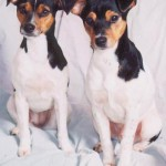 30616 Fox paulistinha 150x150 Fotos de cachorros de raça