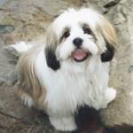 30616 Lhasa apso 150x150 Fotos de cachorros de raça