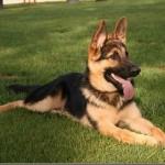30616 Pastor Alemao 1 150x150 Fotos de cachorros de raça