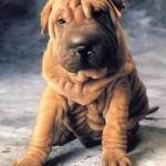 30616 Sharpei 150x150 Fotos de cachorros de raça