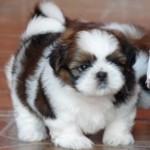 30616 Shih Tzu filhote 150x150 Fotos de cachorros de raça