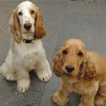 30616 cocker spaniel 1 150x150 Fotos de cachorros de raça