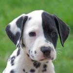 30616 dalmata 150x150 Fotos de cachorros de raça