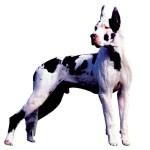 30616 dogue alemão 150x150 Fotos de cachorros de raça