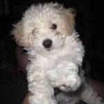 30616 poodle 150x150 Fotos de cachorros de raça