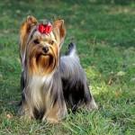30616 yorkshire terrier 1 150x150 Fotos de cachorros de raça