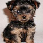 30616 yorkshire terrier filhote 150x150 Fotos de cachorros de raça