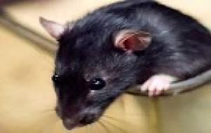 Rato encontrado com aliança no corpo