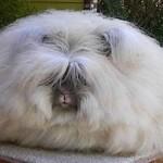 347917 o coelho angor+í +® um coelho comum mas que apenas tem excesso de pelagem. 150x150 Os animais mais esquisitos do mundo