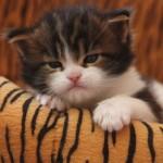 349572 83193307 150x150 Os gatinhos mais fofos do mundo
