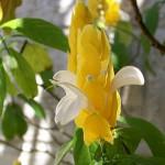 349762 Candelabro de ouro – Pachystachis lutea 150x150 Flores mais belas da natureza