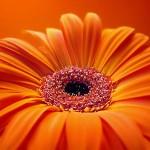 349762 Gerbera 2 150x150 Flores mais belas da natureza