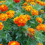 349762 Tajetes – Tajetes patula 150x150 Flores mais belas da natureza