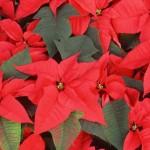 349762 flor bico de papagaio 150x150 Flores mais belas da natureza