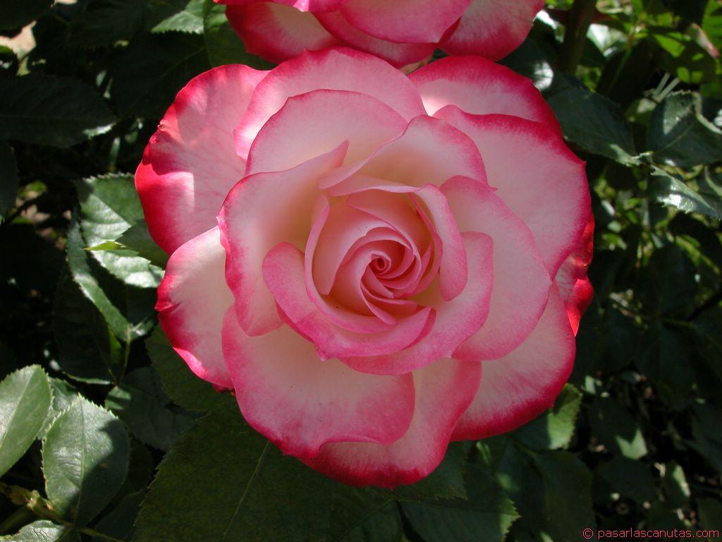 Imagenes De Rosas Con Movimiento: Imagenes Bonitas De Unas Rosas Con Brillantes