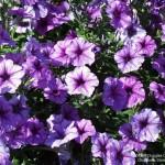 349762 foto petunia 06 150x150 Flores mais belas da natureza