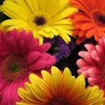 349762 gerberas2 150x150 Flores mais belas da natureza