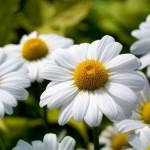 349762 margaridinha 150x150 Flores mais belas da natureza