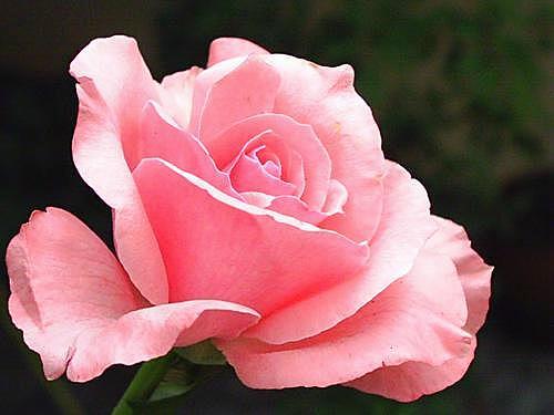 http://cdn1.mundodastribos.com/349762-rosa-cor-de-rosa.jpg