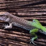 350634 Lagarto da cauda verde 150x150 Animais em extinção no mundo