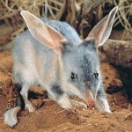 350634 Notomys Macrotis Austrália não vê los mais desde 1843 150x150 Animais em extinção no mundo