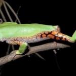 350634 Perereca de folhagem com perna reticulada 150x150 Animais em extinção no mundo