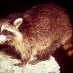 350634 Procyon gloveralleni Barbadus ultimo animal visto foi em 1964 150x150 Animais em extinção no mundo