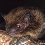 350634 Rattus Macleari Ilhas Christmas extinto entre 1901 e 1904 150x150 Animais em extinção no mundo