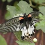 351429 Borboleta Mórmon 150x150 As borboletas mais lindas do mundo