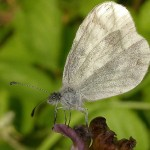 351429 borboleta branca da madeira 150x150 As borboletas mais lindas do mundo