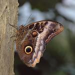 351429 borboleta coruja 150x150 As borboletas mais lindas do mundo