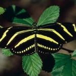 351429 borboleta zebra 150x150 As borboletas mais lindas do mundo