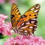351429 foto flores e borboletas 01 150x150 As borboletas mais lindas do mundo