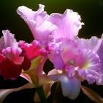 356846 BXK17007 orquideas jundiai sp  br julho 2005 br 004800 150x150 As orquídeas mais bonitas da natureza