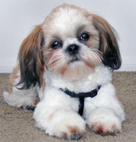 O SHITZU é um cão de porte pequeno. (Foto: Divulgação)