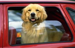 Como viajar de carro com o cão