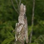 371966 em todas as especies de animais existem os que se camuflam como este pássaro 150x150 Animais que se camuflam na natureza: fotos