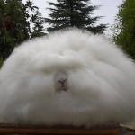 373124 coelho angorá 150x150 Os animais mais fofos do mundo: fotos