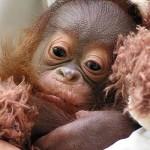 373124 filhote de orangotango 150x150 Os animais mais fofos do mundo: fotos