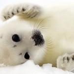 373124 foca albina 150x150 Os animais mais fofos do mundo: fotos