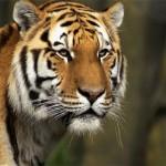 373124 tigre 150x150 Os animais mais fofos do mundo: fotos