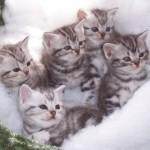 374109 American Short hair filhote 1 150x150 Fotos de gatos de raça