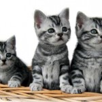 374109 American Short hair filhote 2 150x150 Fotos de gatos de raça