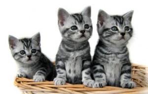 Fotos de gatos de raça